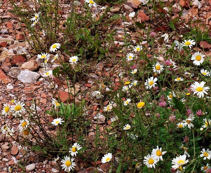 daisies & clover