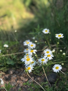 Wild flowers along the Superior Hiking Trail