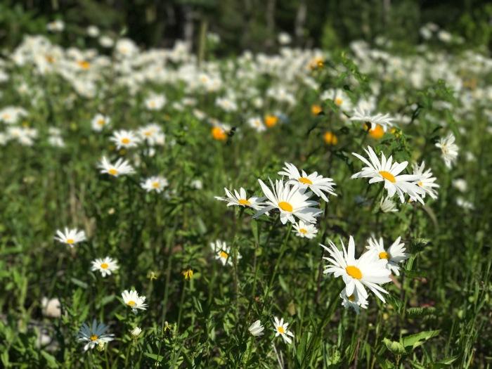 Wildflowers along the hillside in Lutsen, MN